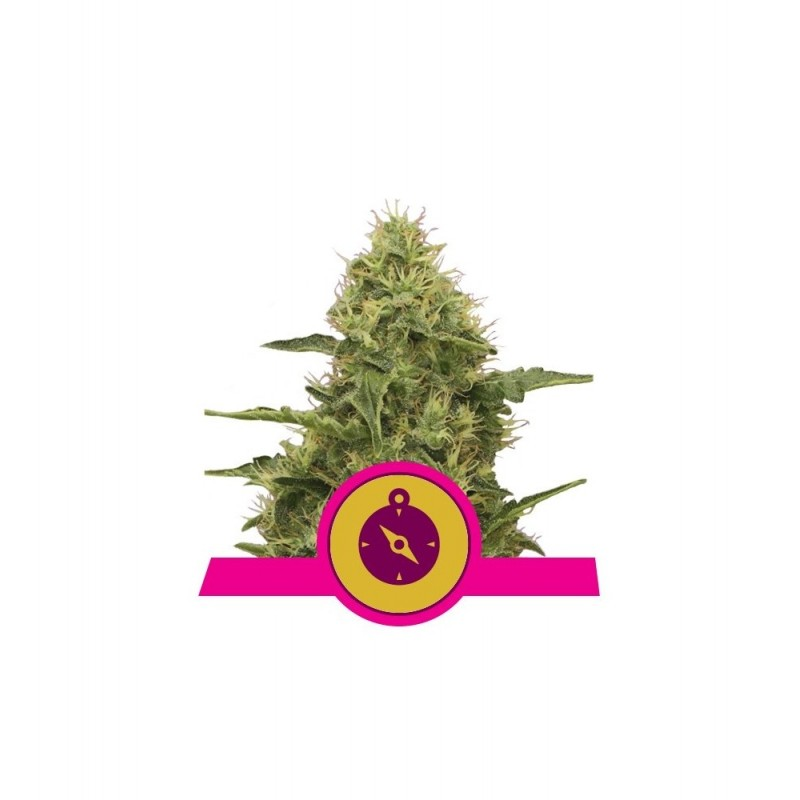 Northern Light Feminized Nasiona Marihuany Royal Queen Seeds