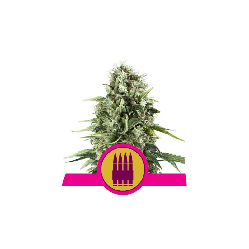 Royal AK Feminized Nasiona Marihuany Royal Queen Seeds