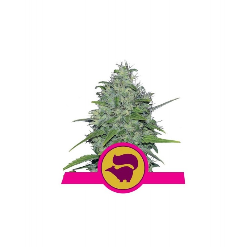 Skunk XL Feminized Nasiona Marihuany Royal Queen Seeds