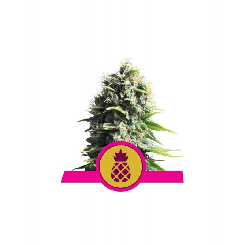 Pineapple Kush Feminized Nasiona Marihuany Royal Queen Seeds