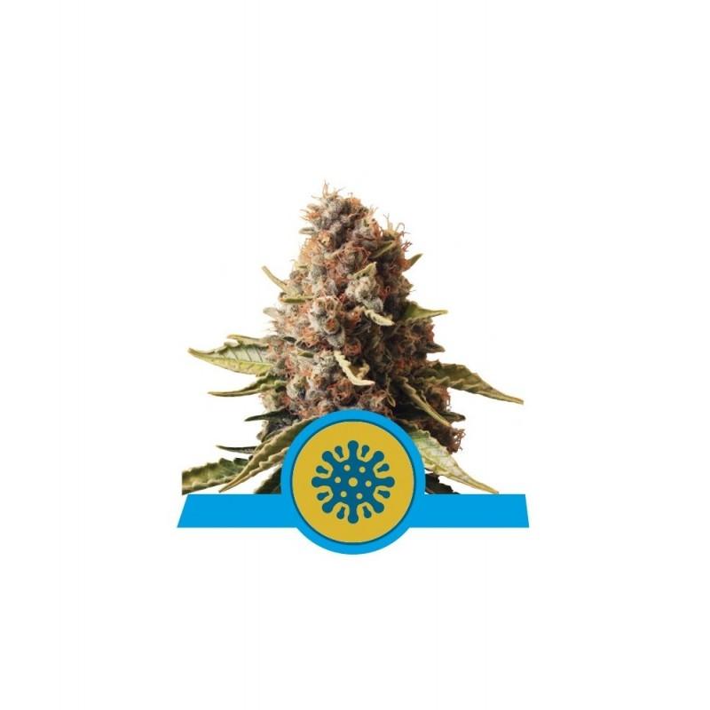 Euphoria CBD Feminized Nasiona Marihuany Royal Queen Seeds