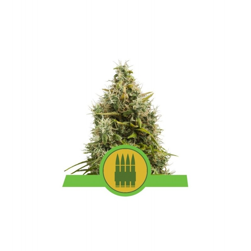 Royal AK Auto Feminized Nasiona Marihuany Royal Queen Seeds
