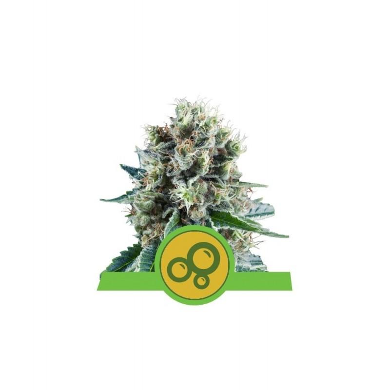 Bubble Kush Auto Feminized Nasiona Marihuany Royal Queen Seeds