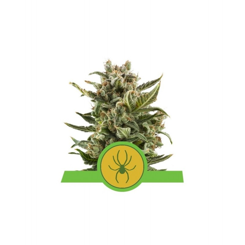 White Widow Auto Feminized Nasiona Marihuany Royal Queen Seeds