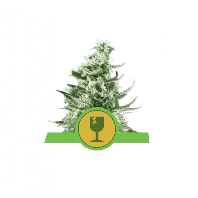 Royal Critical Auto Feminized Nasiona Marihuany Royal Queen Seeds