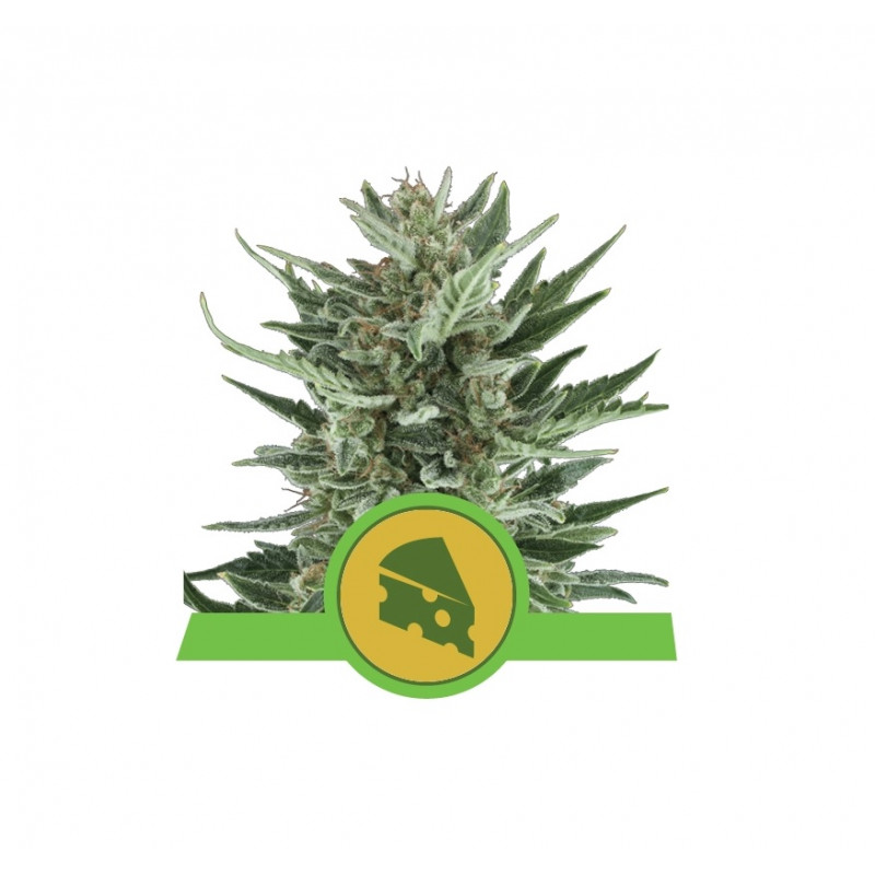 Royal Cheese Auto Feminized Nasiona Marihuany Royal Queen Seeds