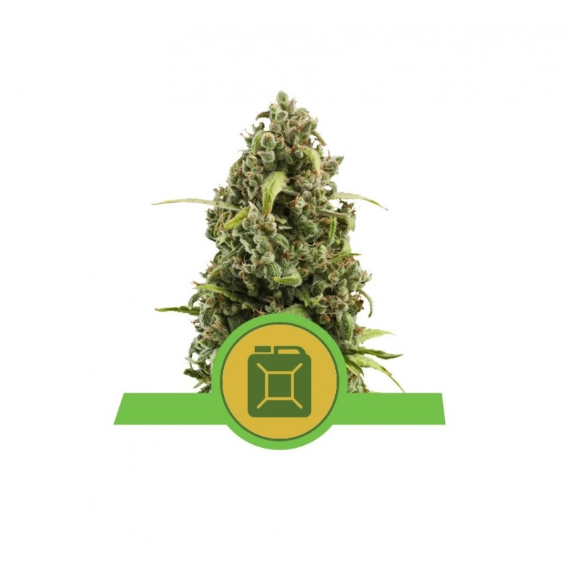 Diesel Auto Feminized Nasiona Marihuany Royal Queen Seeds
