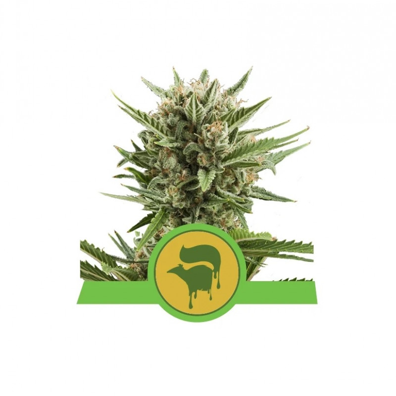 Sweet Skunk Auto Feminized Nasiona Marihuany Royal Queen Seeds