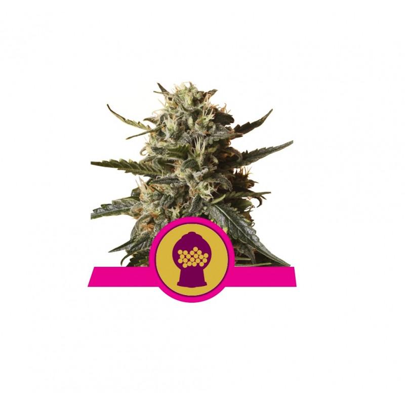 Bubblegum XL Feminized Nasiona Marihuany Royal Queen Seeds