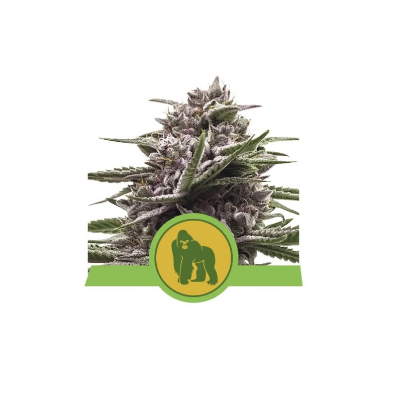 Royal Gorilla Auto Feminized Nasiona Marihuany Royal Queen Seeds